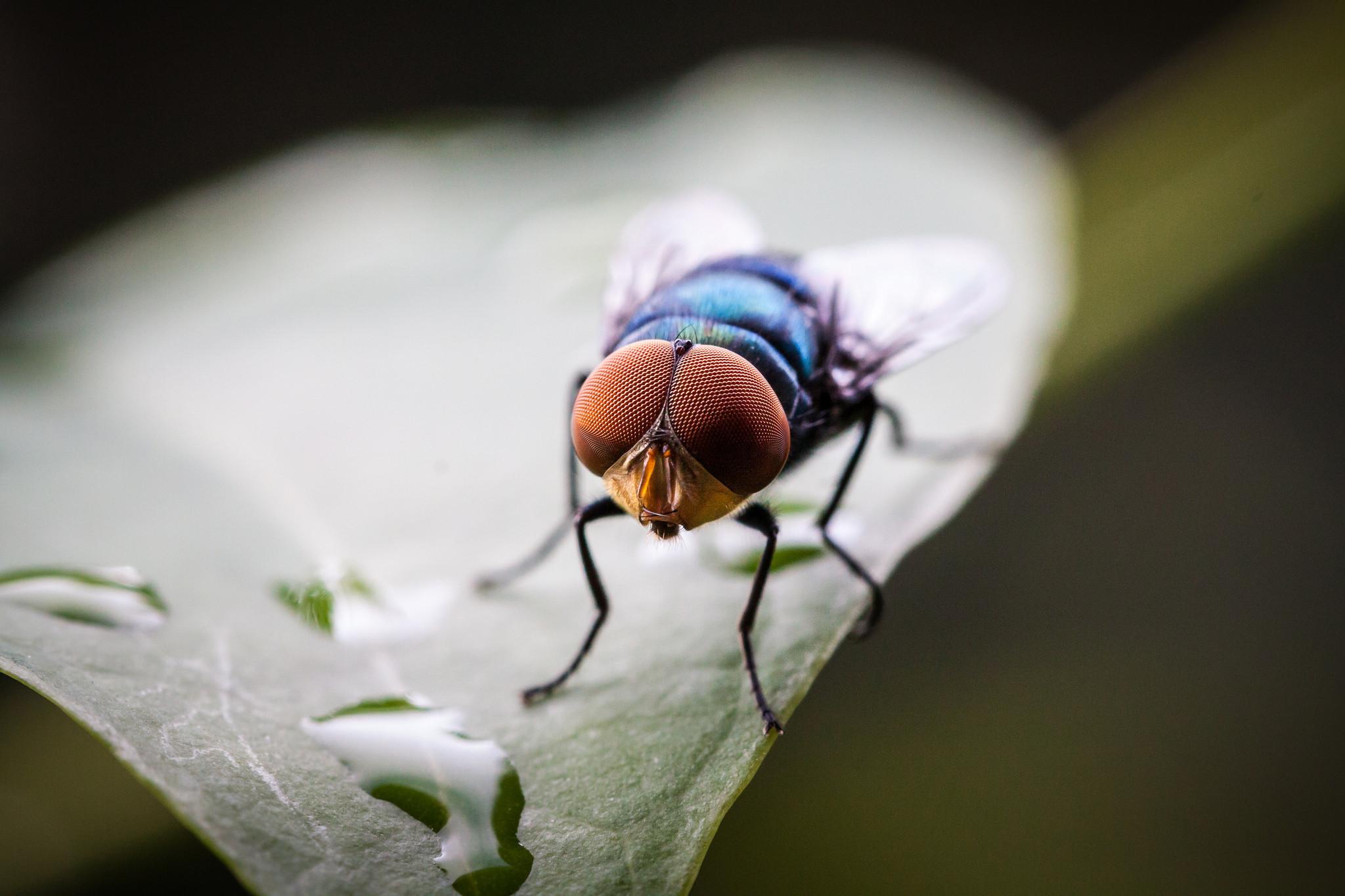 Случается ли телегония у мух?
