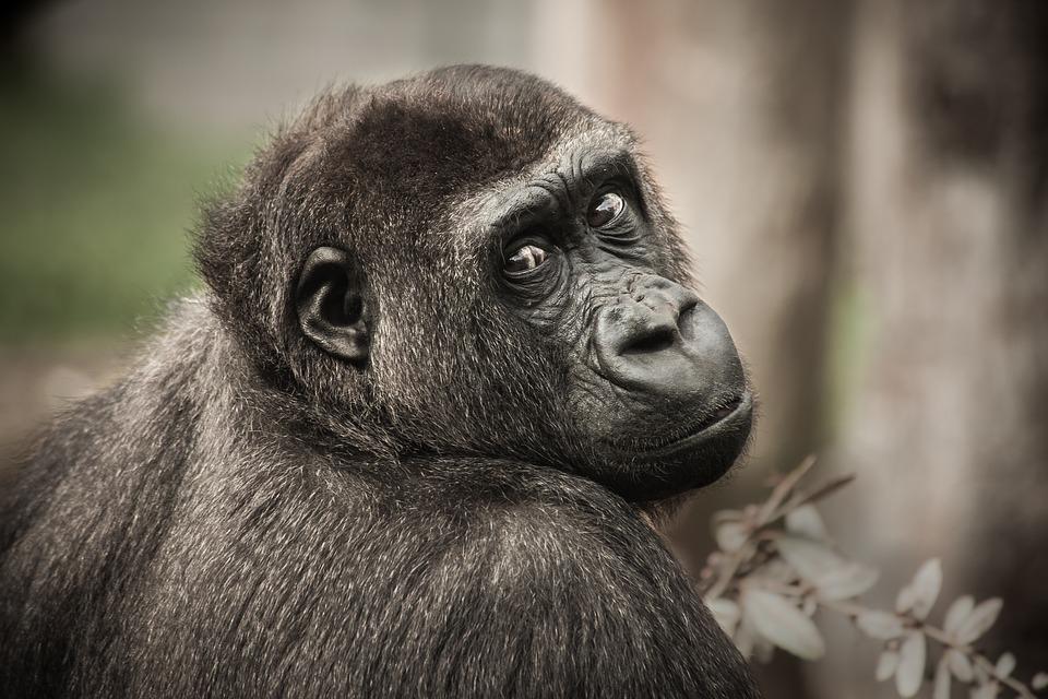 Люди и шимпанзе борются с инфекциями теми же методами, что и наши общие предки