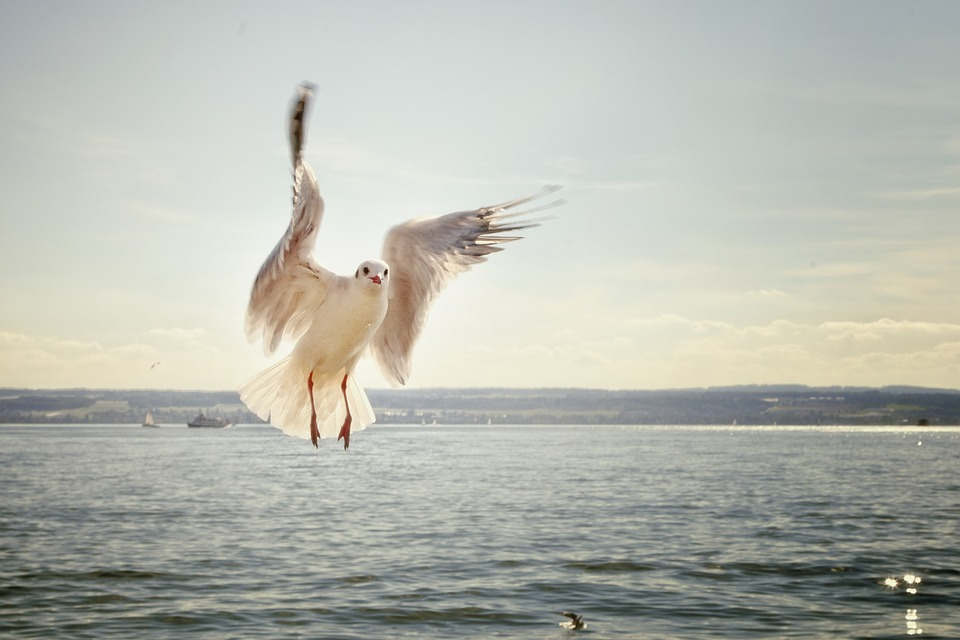 Чайки распространяют семена